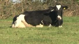 A cow laying down
