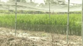 Genetically modified rice crops in Ghana