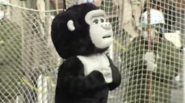 Zoo keeper dressed in Gorilla costume