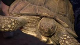 Flood-struck tortoise