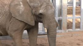 African elephant Buta at Noah's Ark zoo near Bristol