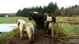 Horses tethered in a field