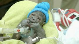 The new born female gorilla