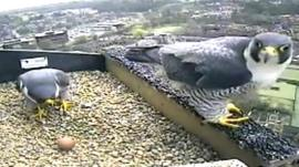 A pair of peregrine falcons with an egg