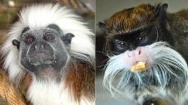 Cotton-top tamarin and emperor tamarin