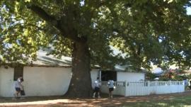 People gathering acorns from an oak tree