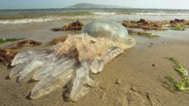 Jellyfish in Dorset