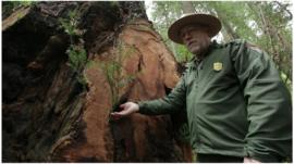 A park ranger points to damage on a redwood tree attacked by poachers