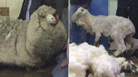 Shaun the sheep before and after sheering