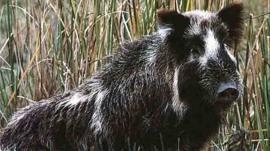 Wild pig in US