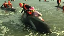 Volunteers helping a beached pilot whale