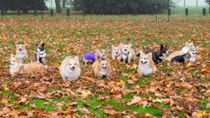 Corgi's at Windsor