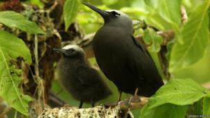 noddy tern and chick