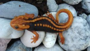 A new species of newt called the 'tylototriton anguliceps', discovered in Chiang Rai, Thailand