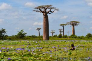 Child collecting fallen fruit of baobab trees in a pool filled with water lilies