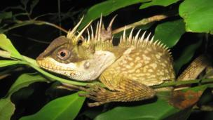 A new species of lizard called the 'acanthosaura phuketensis', discovered in Phuket, Thailand