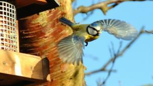 A blue tit takes flight