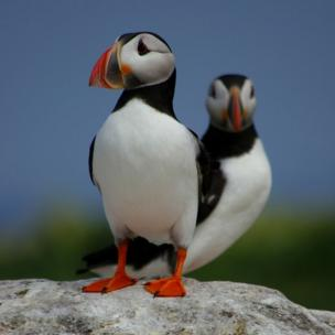 Two puffins standing on a rock
