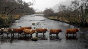 Cattle crossing a river