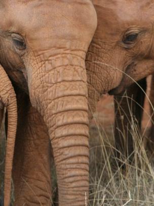 Young African elephants