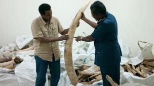 Large illegal elephant tusk