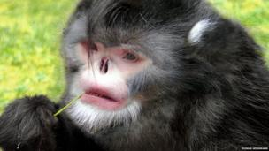A monkey with a snub nose chews on a piece of grass.