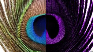 A composite image showing human vision of a peacock's feather (left) and how it looks in UV light (right)