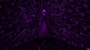 Purple-coloured image of a peacock