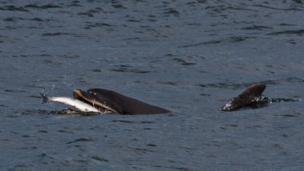 Helen McCann, from Lancashire, holidays in Scotland every year with her family, and spotted this dolphin tucking in to a fish at Chanonry Point.