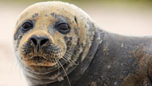 Alan Tough from Elgin said this moulting seal, which has been hanging around the estuary of the River Lossie, has been generating a lot of interest among locals.