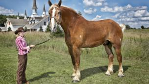 Largest horse in the world poses for the camera with owner in the USA