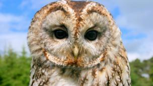 George Saunders from Aberlour photographed this tawny owl at the north east falconry centre, near Cairnie.