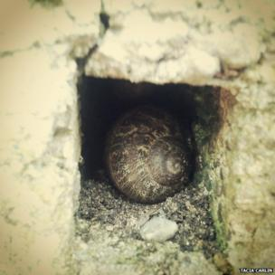 A snail in a crevase of a wall