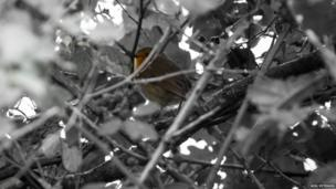 A robin hiding in the trees