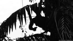 Picture of Borneo Orangutan.
