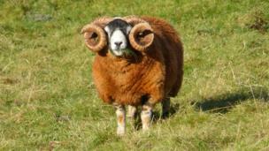 Ram eating grass
