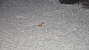 Fox in a snow covered garden