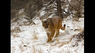 Cougar Out In Snow by Jenny Hibbert from The Royal Photographic Society's 155th International Print Exhibition