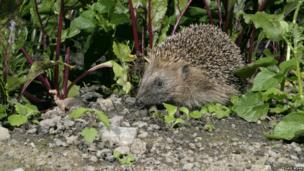 Hedgehog amongst beetroot plants