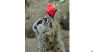 A Meerkat is given a rose as a Valentine's treat