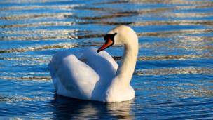 David Lennon from Barry, Vale of Glamorgan said he was at The Knap lake in the town when he spotted this swan enjoying some early spring sunshine.