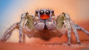 Habronattus virgulatus male spider