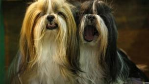 Shih Tzu dogs await judging during the second day of the Crufts dog Show