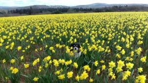Taffy the sheepdog