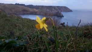 Daffodil at Three Cliffs Bay