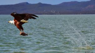 An African fishing eagle catches a fish in Lake Baringo, Kenya
