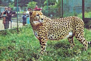Female cheetah called Kinna who lived at Colchester Zoo all through the 1960s. Like Rajah the lion, Frank Farrar often used to walk her around the zoo on a leash.