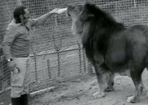 A man named Nyoka came to live at Colchester Zoo in 1970, bringing with him his large collection of big cats and reptiles. This picture comes from a short feature by the BBC about Nyoka at Colchester Zoo. The lion is Simba, who weighed about 60 stone and remains to this day in the Guinness Book of Records as the world's largest captive lion.