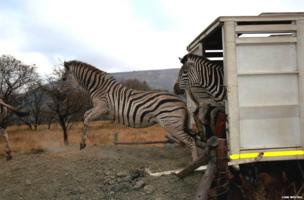 In the past decade the zoo has established a large private nature reserve in South Africa. The first animal releases were made in 2006 and the population has expanded ever since. Here, a group of zebra are released onto the reserve.