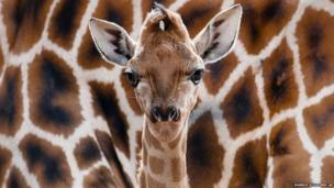 Eric the new-born Rothschild giraffe